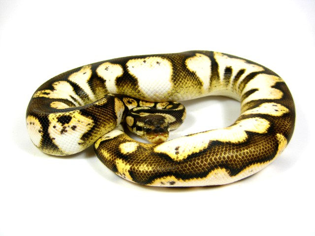 Pastel crystal ball python