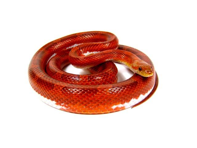 www.snakeguy.de - Captive Bred Corn Snakes, Ball Pythons, Boas