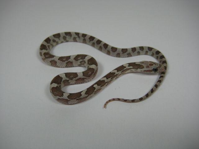 Www Snakeguy De Captive Bred Corn Snakes Ball Pythons Boas