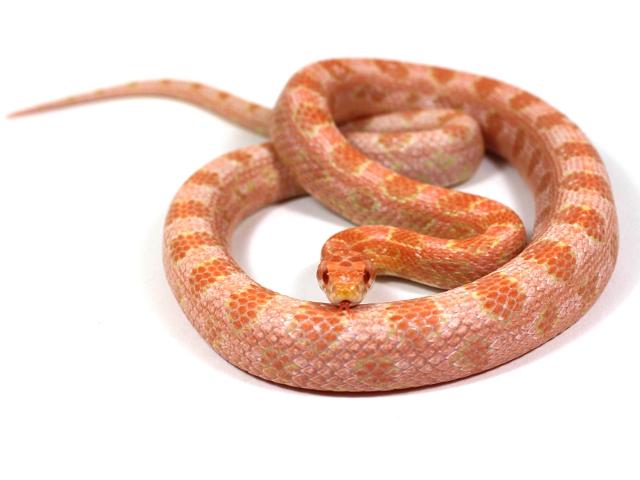 www snakeguy de - Captive Bred Corn Snakes, Ball Pythons, Boas